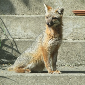 Little Fox, Dillion's Mom's new pet that comes around from time to time for some food